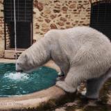 Бялата мечка